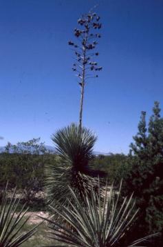 170 Yucca langs de I-17