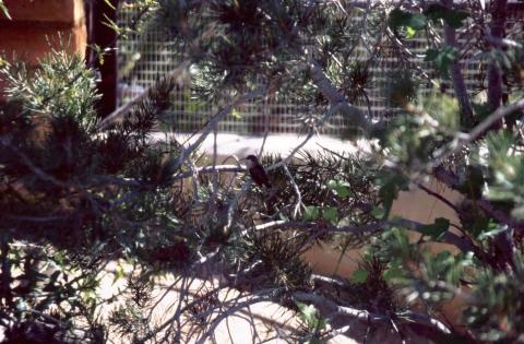 240 Hummingbird Desert museum