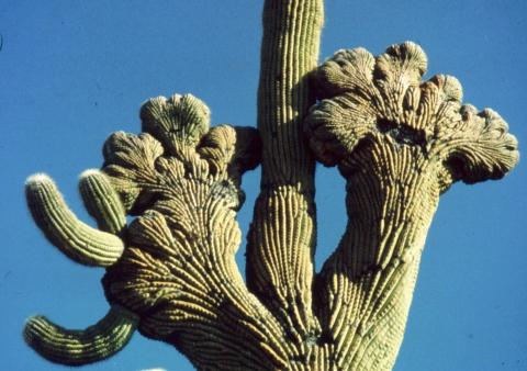 289 cristaat bij Saguaro