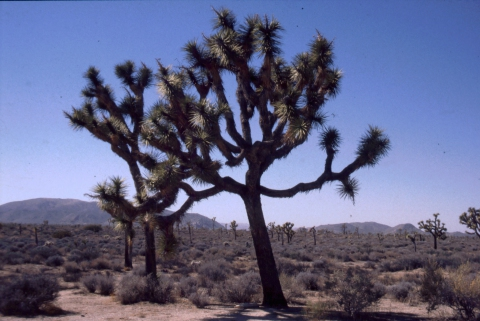 304 Joshua Tree NP