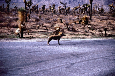 305 Coyote in Joshua Tree NP