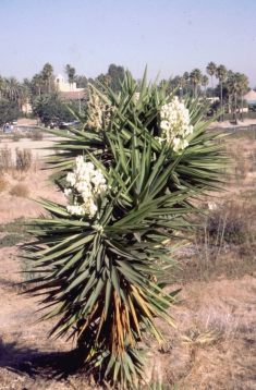 310 bloeiende Yucca in Newport Beach