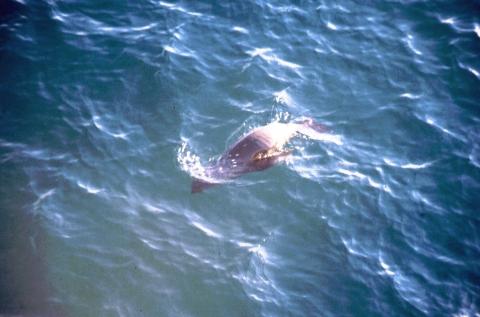 314 zeeleeuw bij Newport Beach