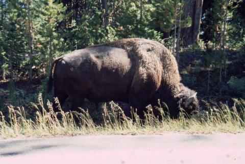 46 Bison