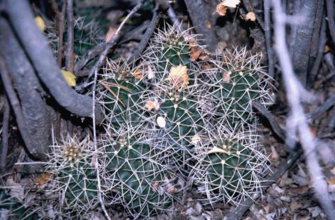 79 Claret Cup Cactus